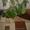 продам комнатное растение-монстера #941023