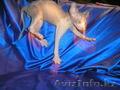 Котёнок канадского сфинкса,  мальчик,  минковый биколор.
