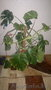 продам комнатное растение-монстера