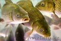 Судак Атырау свежая рыба